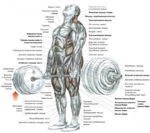 мышцы работающие при становой тяге